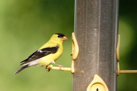 An american goldfinch getting ready to eat.