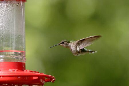 rufous: A rufous hummingbird starts to feed.