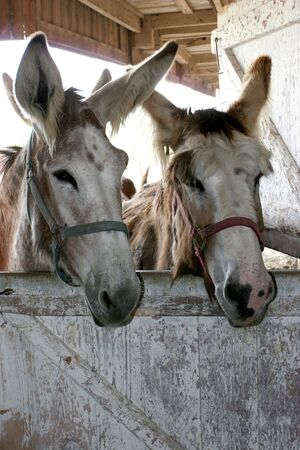 big ass: A couple of long earred donkies. Stock Photo