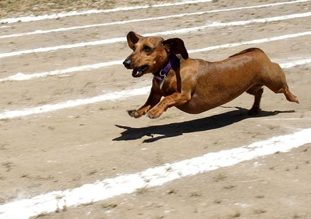 A wiener dog runs as fast as it can to the finish line.