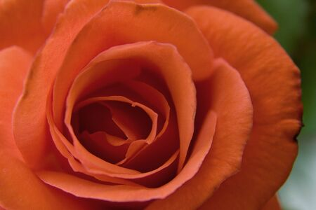 A macro of a red rose and its petals.