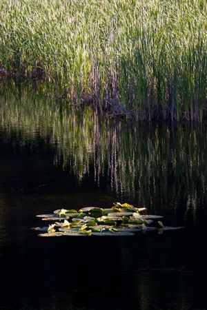 lilypad: Floating lilypads on calm water.