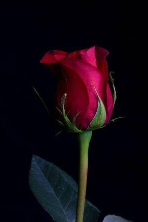 A singel red rose.