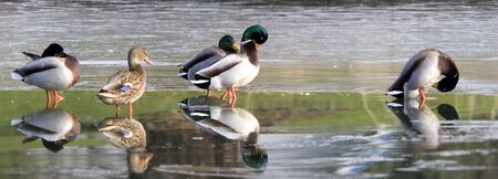 A panoramic of ducks on ice. photo