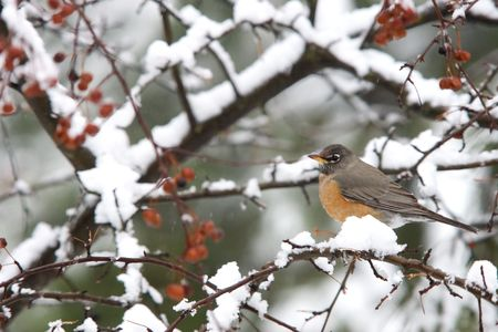 A robin in a snowy tree.
