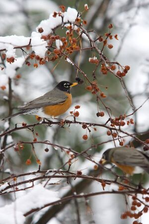 A robin in a tree. photo