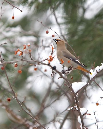 Cedar waxwing perched on a snow covered branch. photo