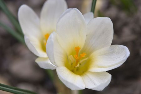 Two white crocus flower.