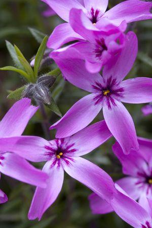 creeping: dark pink creeping phlox flowers. Stock Photo