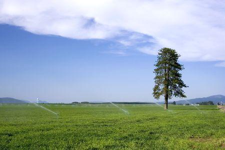 lone pine: Aspersores de riego de cultivos y un solitario pino.