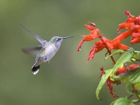 A hummingbird slows down near the flower. Stock Photo
