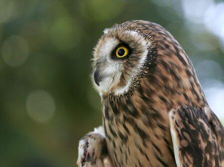 eared: Side portrait of a short eared owl. Stock Photo