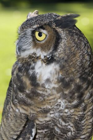 Side view of a great horned owl. photo
