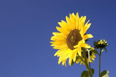 Girasol amarillo contra un cielo azul brillante. Foto de archivo - 5607756