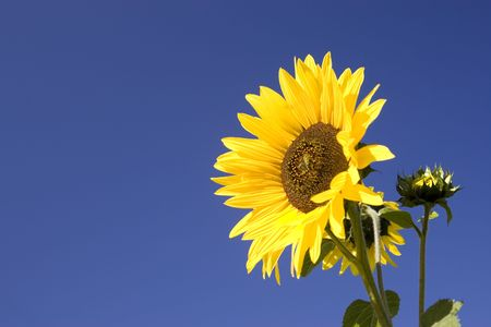 Yellow sunflower against a bright blue sky.