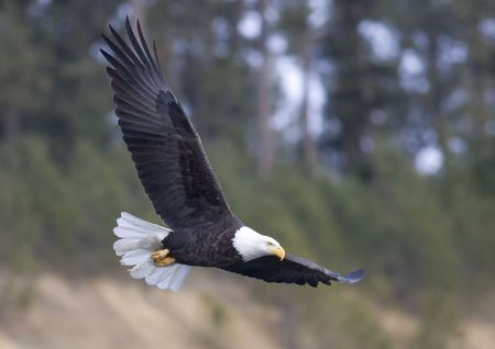 A bald eagle with its large wings in flight. Stockfoto