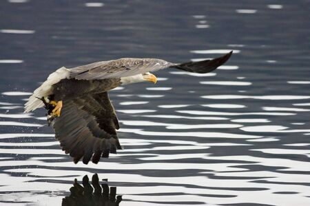 A bald eagle flies off after catching a fish.
