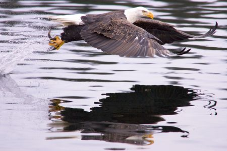 After the swoop, an eagle catches a fish and takes off.
