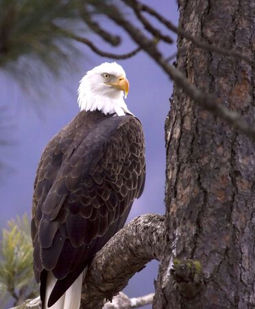 A bald eagle perched on a branch is framed by a tree and pine needles. photo