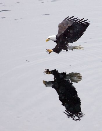 A bald eagle swoops in for the catch.
