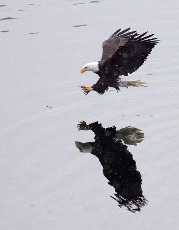 Un águila calva Abate en para las capturas.  Foto de archivo - 6171823