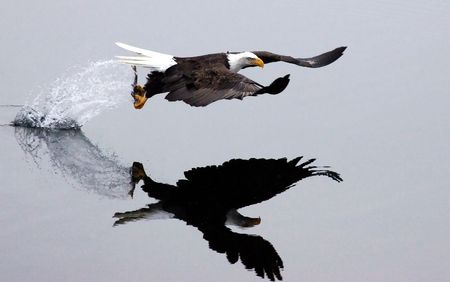 After the swoop, an eagle catches a fish and takes off leaving a trail of splashing water.