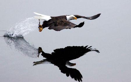 Después de la sola vez, un águila captura un pez y despega dejando un rastro de salpicadura de agua. Foto de archivo - 6171829