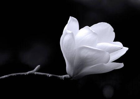 Een portret van de zwart-witte kunst van de bloem van een magnolia boom.