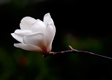 A close up fine art portrait of the flower from a magnolia tree. photo
