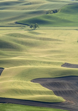 palouse: A lone tree sits in the middle of a vast farm field in the Palouse region near Steptoe, Butte, Washington.
