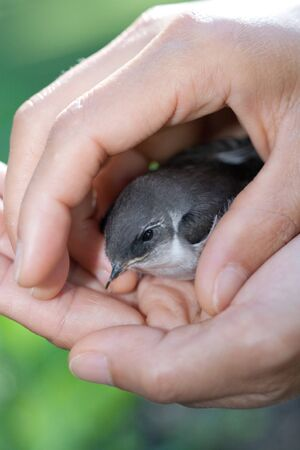 caring hands: A small injured nuthatch in caring hands.