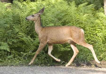 A whitetail deer moves along in the forest. Stock Photo - 7542711