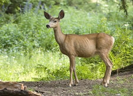 A side view of a whitetail deer in the forest.