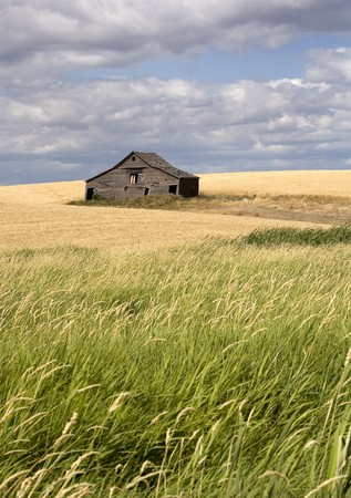 farm structure: An old barn sits in a field filled with crops in the palouse region of eastern Washington.