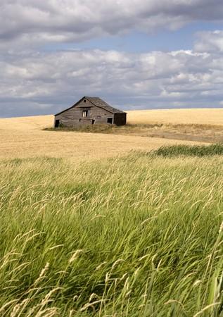 Een oude schuur zit in een veld gevuld met gewassen in de palouse regio van Oost-Washington.
