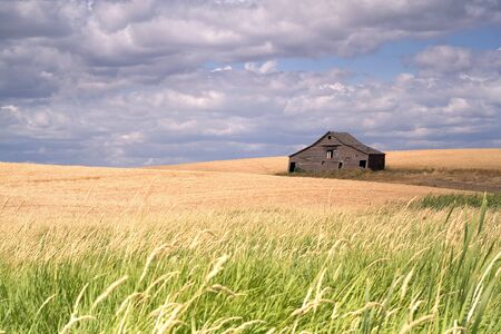 countryside landscape: An old barn sits in a field filled with crops in the palouse region of eastern Washington.