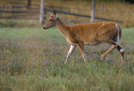 white tail deer: A white tail deer walks along in a field. Stock Photo