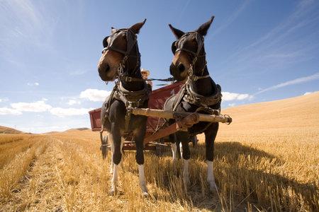 carreta madera: Un par de grandes mulas Tire un vag�n de trigo en el Colfax, Washington abeja trillar el 6 de septiembre de 2010