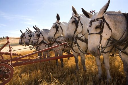 A team of mules lined up to push an old farm machine.