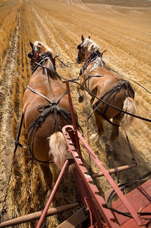 Two draft horses working at pulling the wagon in the field. Stock Photo