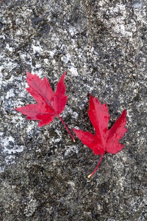 autumn colour: Two red maple leaves against a rock surface.