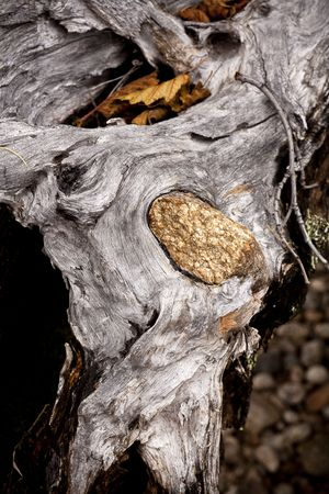embed: A stone is embedded into wood from a tree that grew around it.