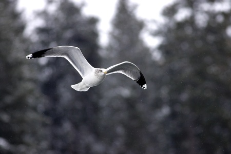 A herring gull is soaring low in the sky.