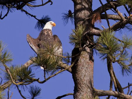 A perched American bald eagle up high in a tree on a sunny day. Stock Photo - 8478974