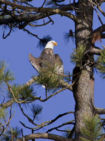 A perched American bald eagle up high in a tree on a sunny day. Stock Photo - 8478978