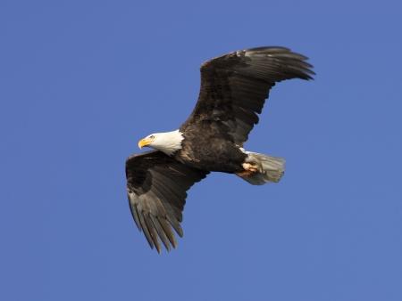 aguila volando: Un �guila calva estadounidense en vuelo hasta en el cielo azul brillante. Foto de archivo