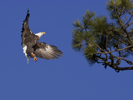 An American bald eagle prepares to land in a tree. Stock Photo