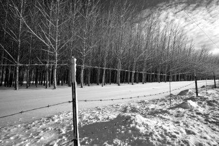 A black and white dramatic image of rows of trees and a barbed wire fence in winter. photo