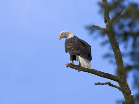 vigilant: An American bald eagle is perched up in a tree.