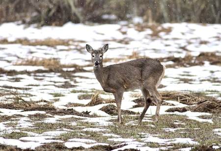 A small deer stands still in a partly snow covered field. Stock Photo - 9056535